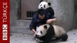 Yemek beklerken ilaçla karşılaşan panda yavrularının intikamı - BBC TÜRKÇE